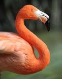 близкая цветастая общяя сторона профиля фламингоа вверх Стоковое Фото