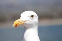 близкая чайка вверх Стоковое Фото