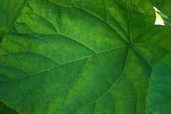 близкие зеленые листья вверх Стоковые Изображения RF