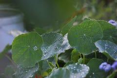 близкие капельки росы засевают вода травой утра листьев совершенная поднимающая вверх Стоковое Изображение