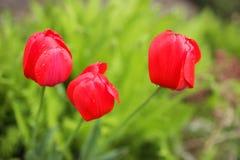 близкие красные тюльпаны вверх Стоковое Фото