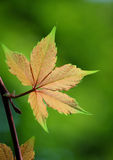 близкие листья плюща вверх Стоковое фото RF