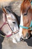 близкие лошади 2 вверх Стоковые Фото