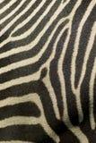 близкие нашивки поднимают зебру Стоковое Изображение RF