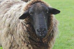 близкие овцы поднимают шерстистое Стоковое Изображение RF