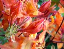 близкие рододендроны померанцового красного цвета вверх Стоковые Изображения RF