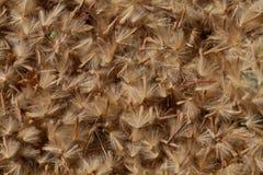 близкие семена одуванчика вверх Стоковое фото RF