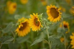 близкие солнцецветы вверх стоковые фотографии rf