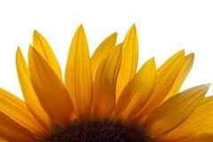 близкие солнцецветы вверх Стоковые Фото