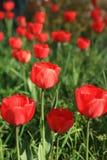 близкие тюльпаны вверх Стоковые Фотографии RF