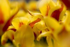 близкие тюльпаны изображения поднимают желтый цвет Стоковая Фотография