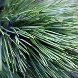 близкие coniferous иглы вверх Стоковые Фотографии RF