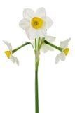 близкие daffodils поднимают белизну Стоковое Фото
