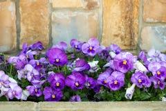 близкий вверх пурпурного сада расти цветка pansy весной стоковые изображения