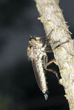 близкий весьма разбойник мухы вверх Стоковые Фотографии RF