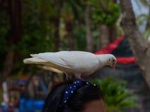 Близкий взгляд белого голубя сидя на человеческой голове в парке Benidorm Стоковые Фотографии RF