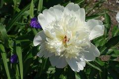 Близкий взгляд белого цветка пиона стоковые изображения rf