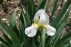 Близкий взгляд белого цветка радужки стоковое фото rf