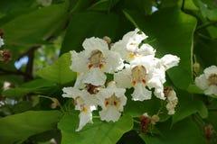 Близкий взгляд белых цветков catalpa стоковые фото