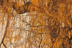 БЛИЗКИЙ ВЗГЛЯД ДЕРЕВА С ЖЕЛТЫМИ ЛИСТЬЯМИ Стоковое Изображение RF