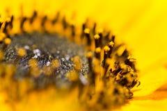 Близкий взгляд желтых цветеня солнцецвета и подсолнечника ann pistils Стоковые Изображения RF