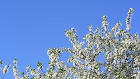 Близкий взгляд истинного цвета цветков вишневого дерева на предпосылке голубого неба сток-видео