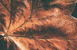 Близкий взгляд кленового листа Стоковое фото RF