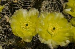 Близкий взгляд на кактусе полностью счастливый желтый зеленый цвет Стоковое Фото