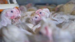 Близкий взгляд на много цыплят отдыхая внутри клетки сток-видео