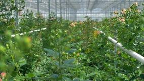 Близкий взгляд на розах растя в группах в парнике акции видеоматериалы
