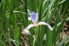 Близкий взгляд цветка spuria радужки стоковые фотографии rf