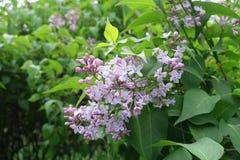 Близкий взгляд цветков сирени стоковое изображение rf