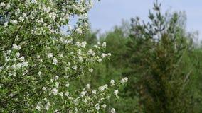 Близкий взгляд цветков mespilus Amelanchier на зеленой предпосылке леса сток-видео