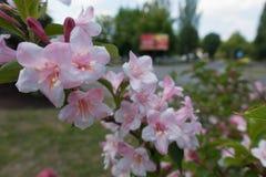Близкий взгляд цветков Weigela Флориды стоковое изображение