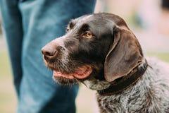 Близкий взгляд черной немецкой Wirehaired собаки указателя стоковое изображение