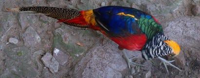 Близкий взгляд яркого multiicolored фазана птицы леса золотого Стоковое Фото