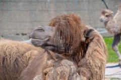 Близкий взгляд Bactrian верблюда Стоковые Изображения RF
