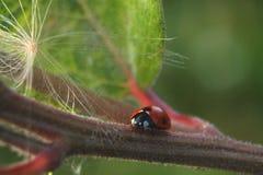 Близкий взгляд Ladybug на лист E стоковая фотография