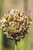 Близкий взгляд thoracicus Poecilimon, Phaneropteridae на общем insflorescence лука стоковые изображения rf