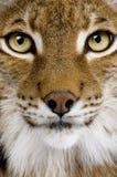 близкий евроазиатский головной lynx s вверх Стоковая Фотография RF