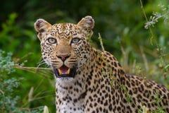 близкий женский леопард вверх Стоковое фото RF