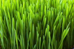 близкий завод вверх по wheatgrass Стоковое Изображение