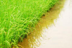 близкий зеленый рис вверх Стоковые Изображения RF