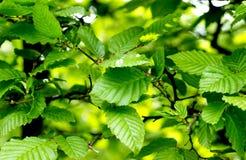 близкий зеленый цвет листва вверх Стоковая Фотография RF