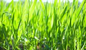 близкий зеленый цвет травы вверх Стоковая Фотография RF