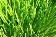 близкий зеленый цвет травы вверх Стоковое Изображение