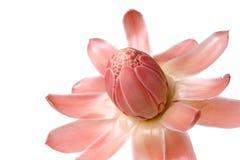 близкий имбирь цветка вверх по одичалому Стоковые Изображения