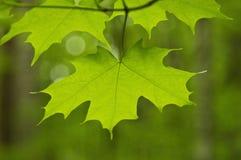 близкий клен листьев вверх Стоковая Фотография RF