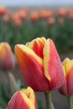 близкий красный тюльпан съемки 2 вверх по желтому цвету Стоковое фото RF