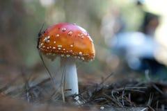близкий красный цвет гриба вверх по деревянной щепке Стоковое Фото